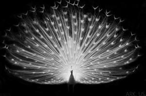 photo paon blanc fond noir white peacock black background magestic majestueux décoration