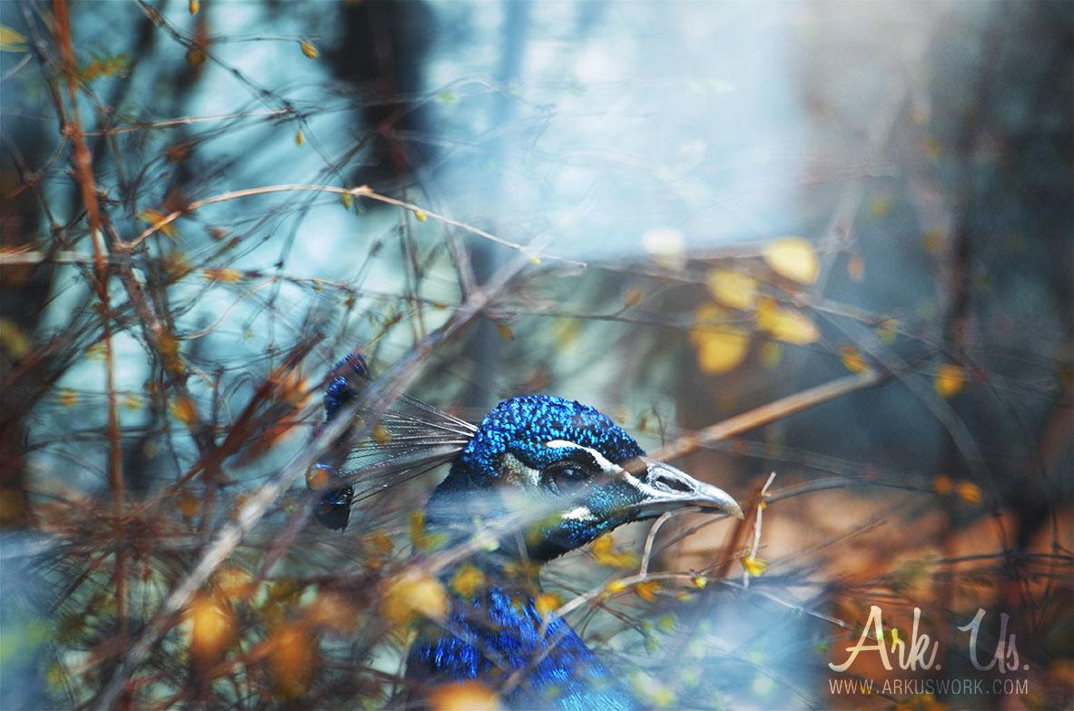 paon,bleu,feuille,nature