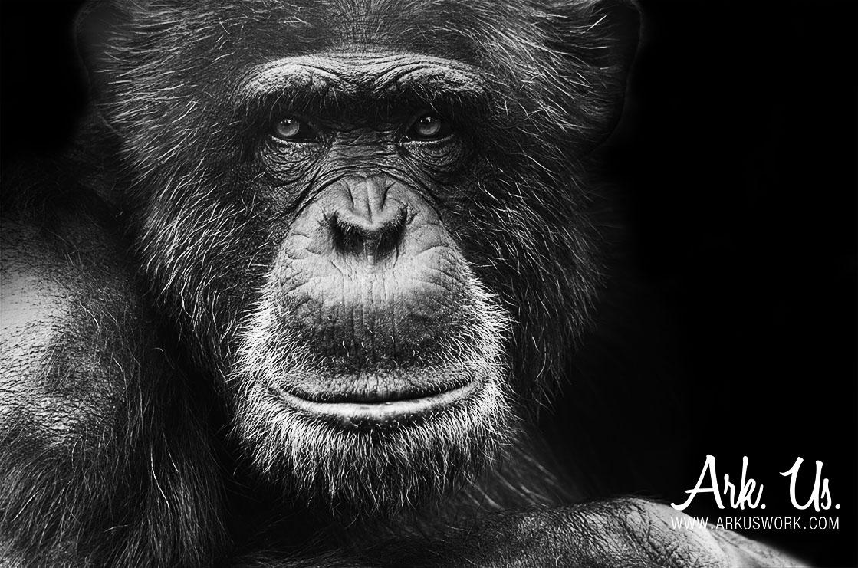 singe,chimpanzé,noir,blanc
