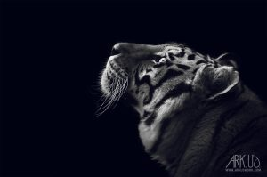 tigre,noir,blanc,animal,sauvage,félin,décoration,image,photo,photographie,photographe,animaux;animal,