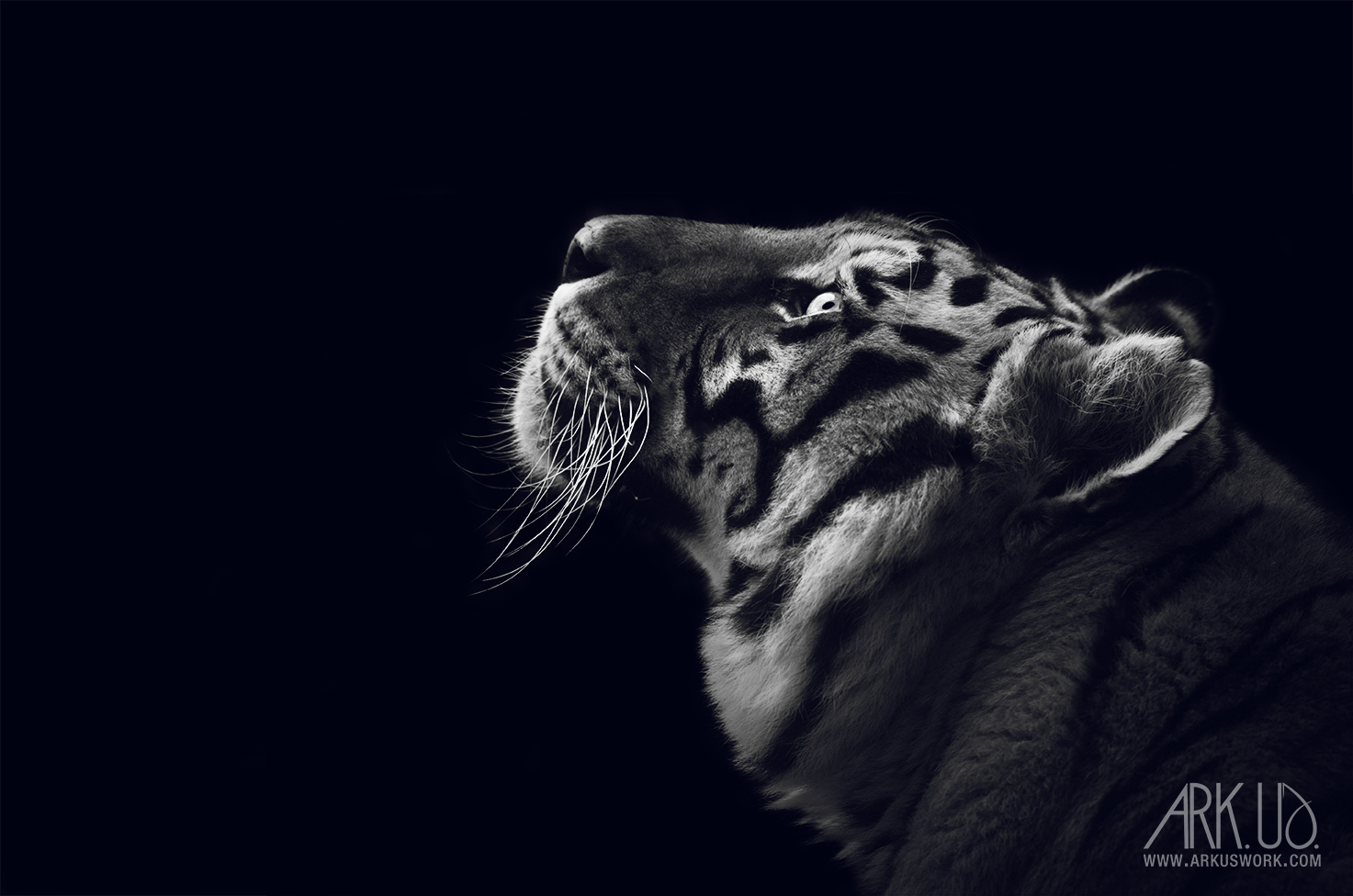 tigre,noir,blanc,animal,sauvage,félin,décoration,image,photo,photographie,photographe,animaux;animal,
