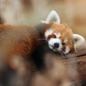 photographe animaux sauvages animalière animal nature portrait décoration tirage art artistique panda roux