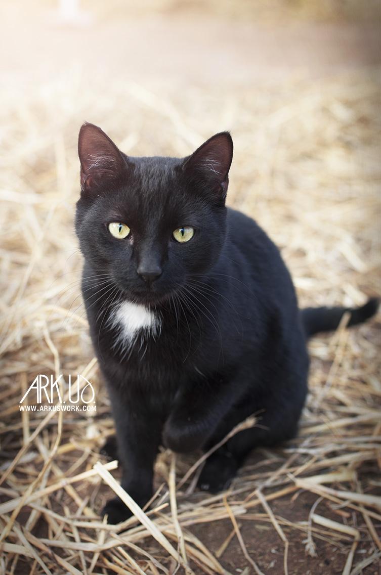 chat photographie noir tâche blanche portrait animalier photographe animaux de compagnie félin photographie var toulon pignans PACA