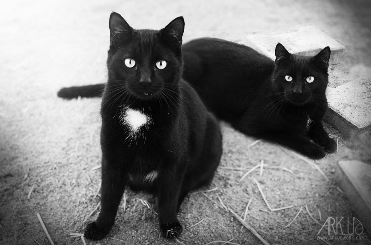 chat photographie noir tâche blanche portrait animalier photographe animaux de compagnie félin photographie var toulon pignans PACA deux duo noiretblanc