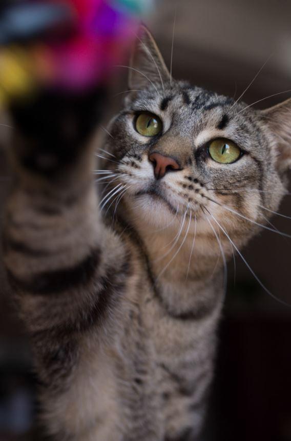 chat,félin,photographe,photographie,tabby,tigré,var,toulon,paca,animal,animal de compagnie,animaux,animaux de compagnie,original,artistique,art