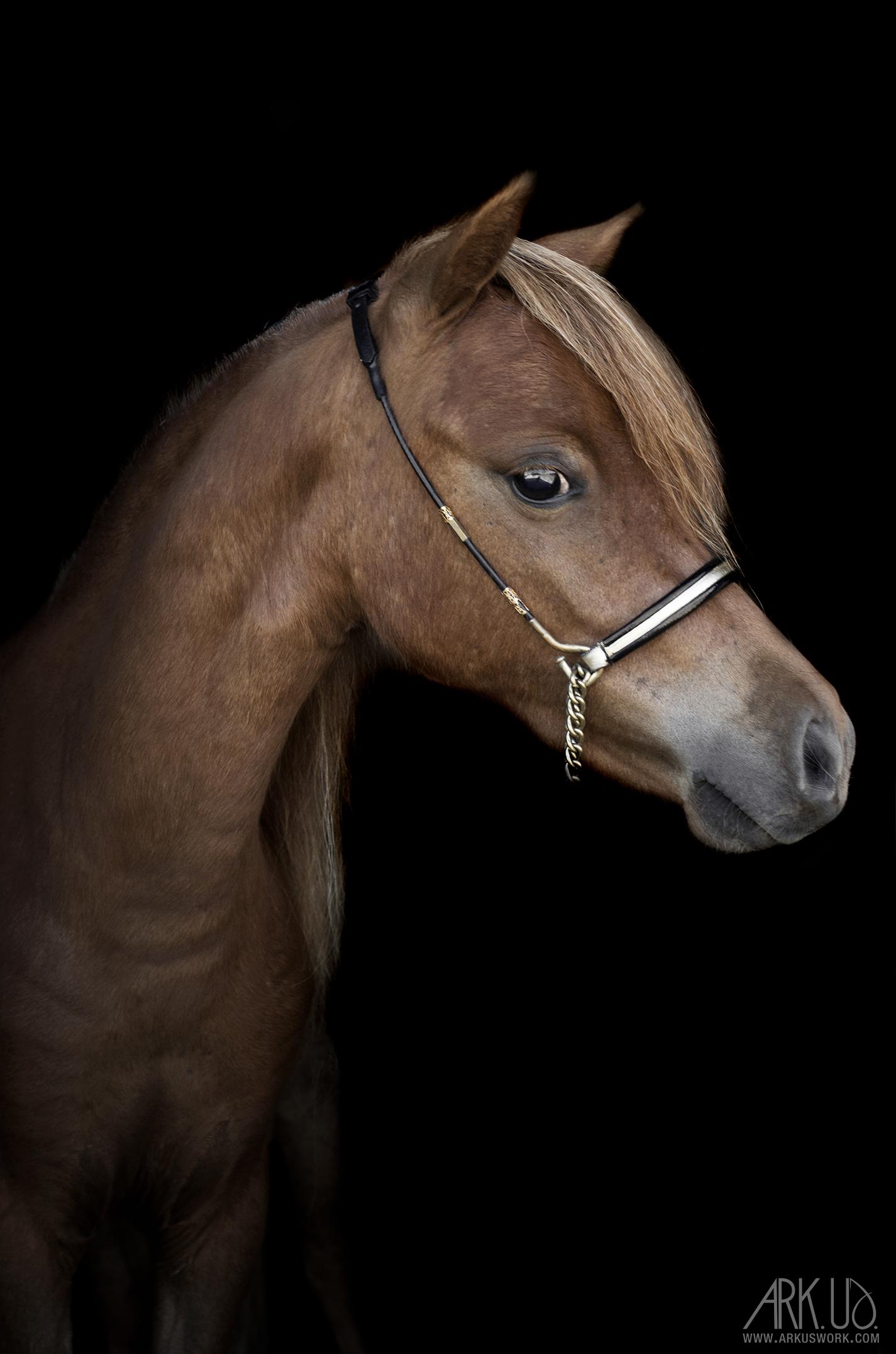 cheval,miniature,chevaux,animal,photographe,animalière,animaux,compagnie,var,paca,toulon,photographie,fond,noir,art,artistique,portrait,nature