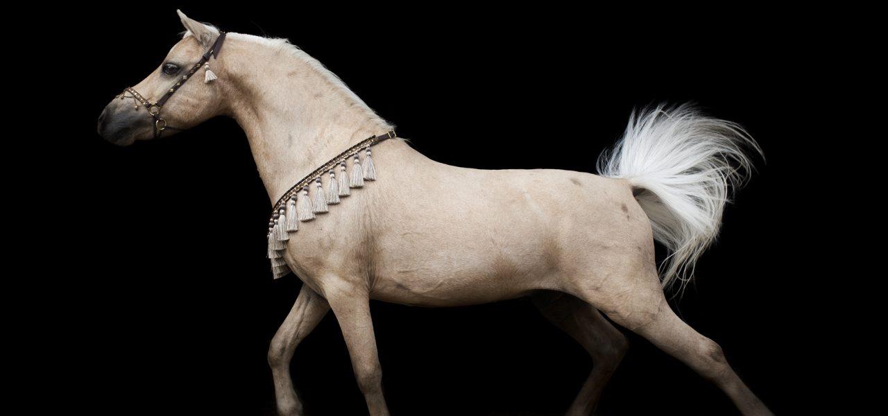 Rhéa Horses – Chevaux miniatures américains