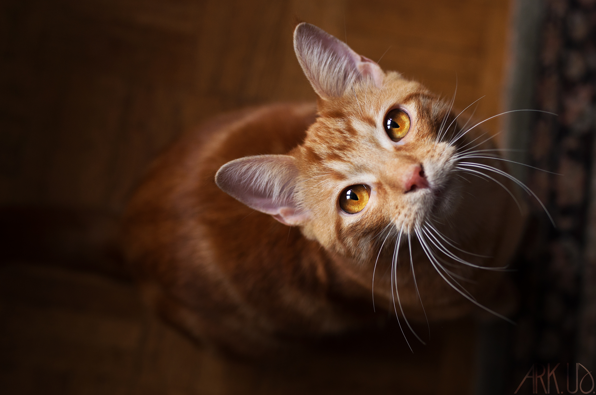 chat,roux,chaton,photographe,photographie,animalière,toulon,paris,france,var,paca,domicile,animaux,animal, compagnie,chien,félin,animalier, artiste, oeuvre