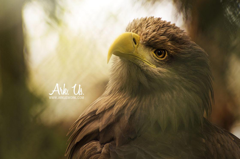 photo aigle eagle décoration art artistique photographie animal photographe animalier oiseau