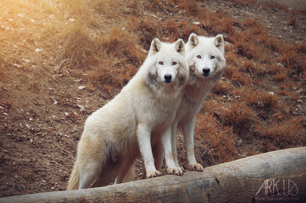 loups blancs arctiques photo animalière photographe animalier white wolves portrait autumn automne golden nature wild sauvage