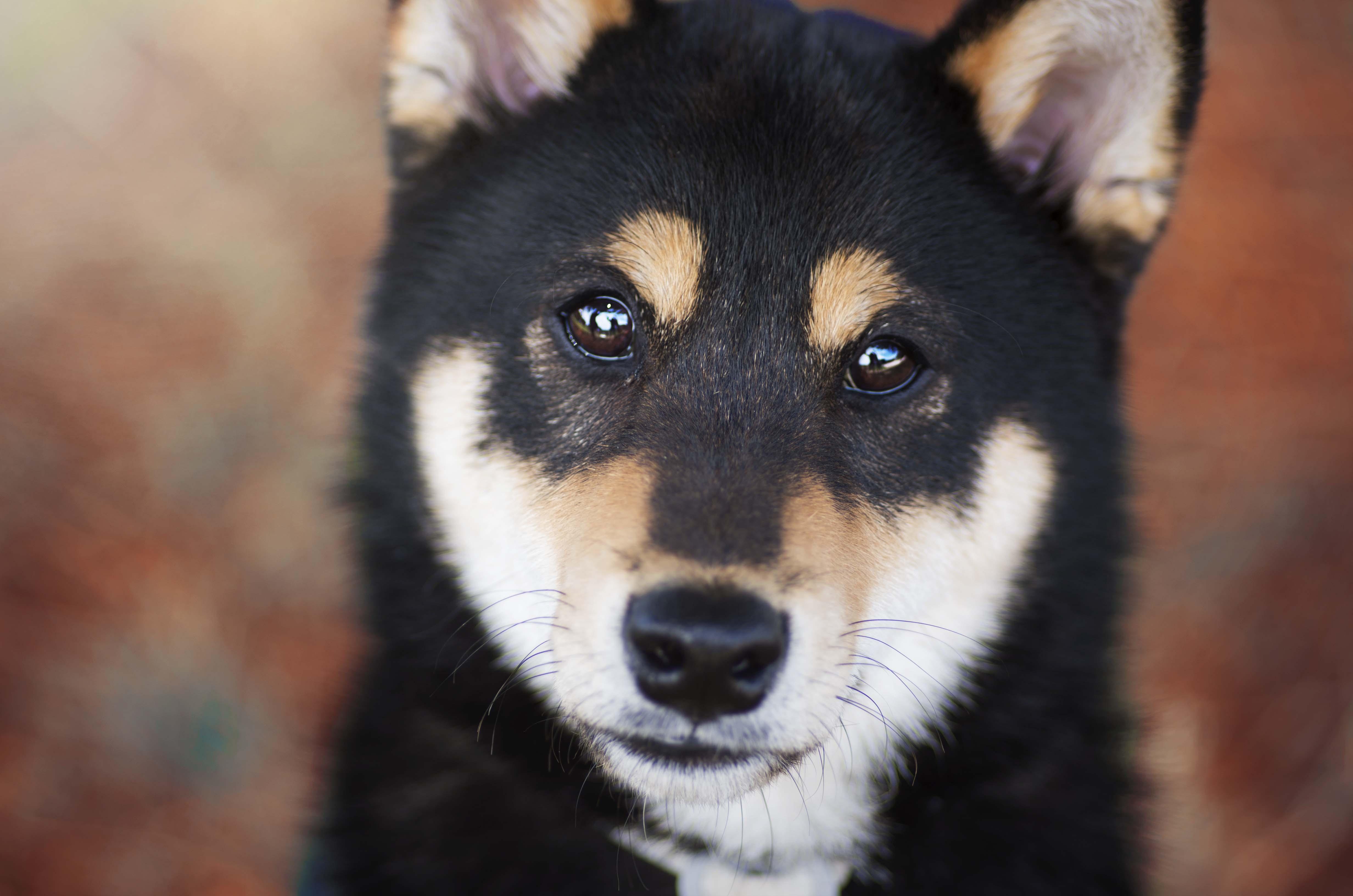 séance photo chien shiba inu photographie photographe animal de compagnie chat chien cheval var paca