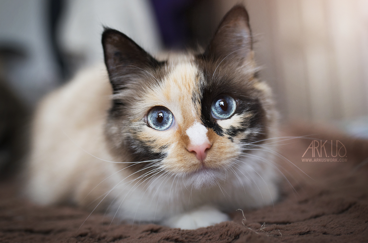 photographie animaux de compagnie chat portrait shooting photo animal animalière photographe var toulon PACA tricolore sacrée de birmanie poils mi longs