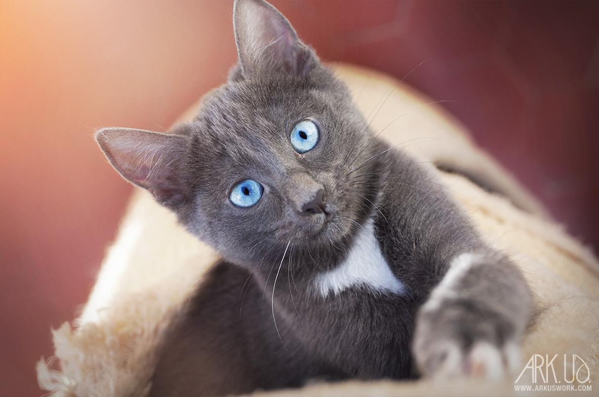 photo chaton yeux bleu chartreux blanc gris félin photographe animalier chat chien animaux de compagnie var paca