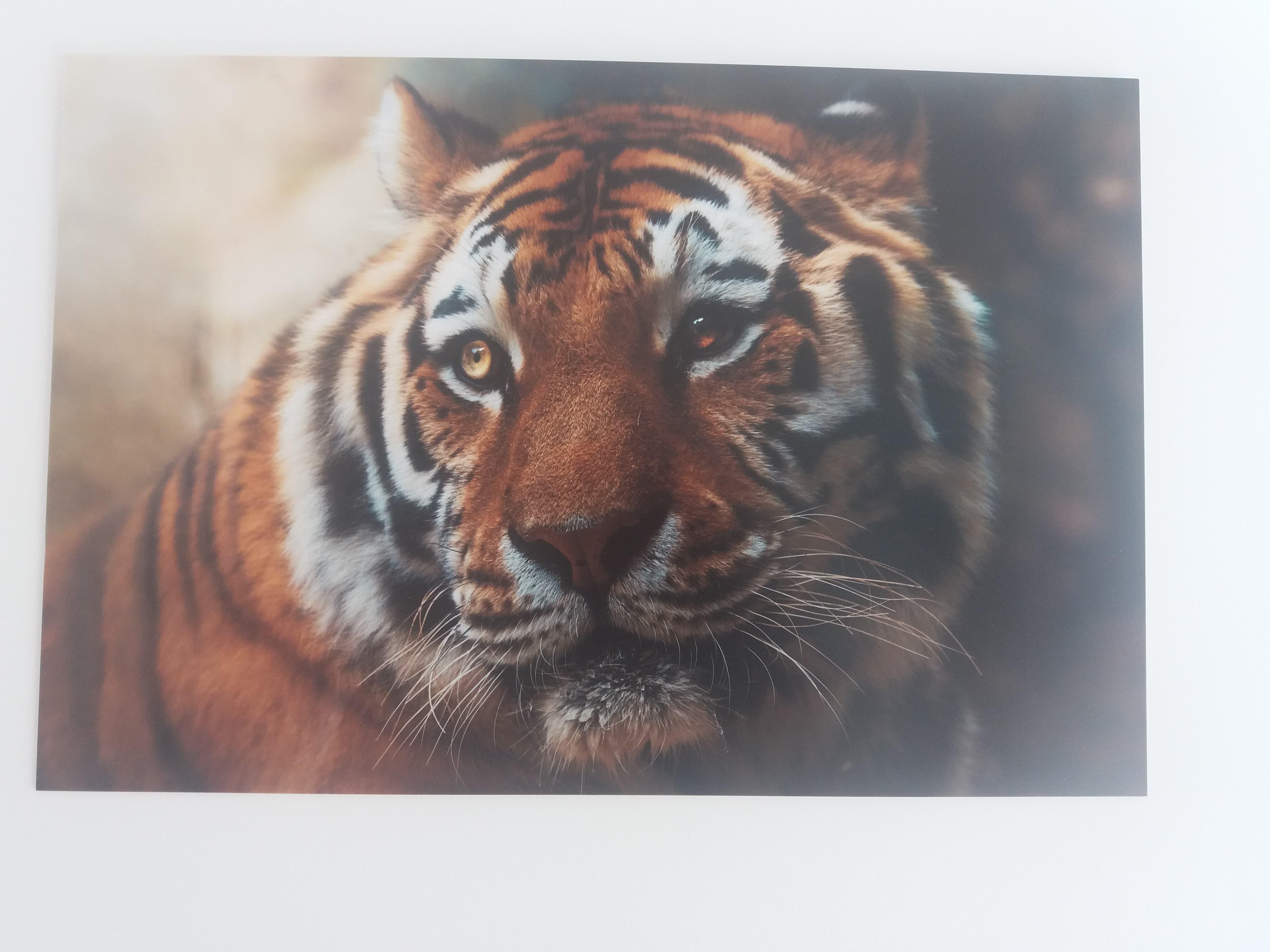 tirage pvc photographie animalière tigre félin décoration mur cabinet var toulon