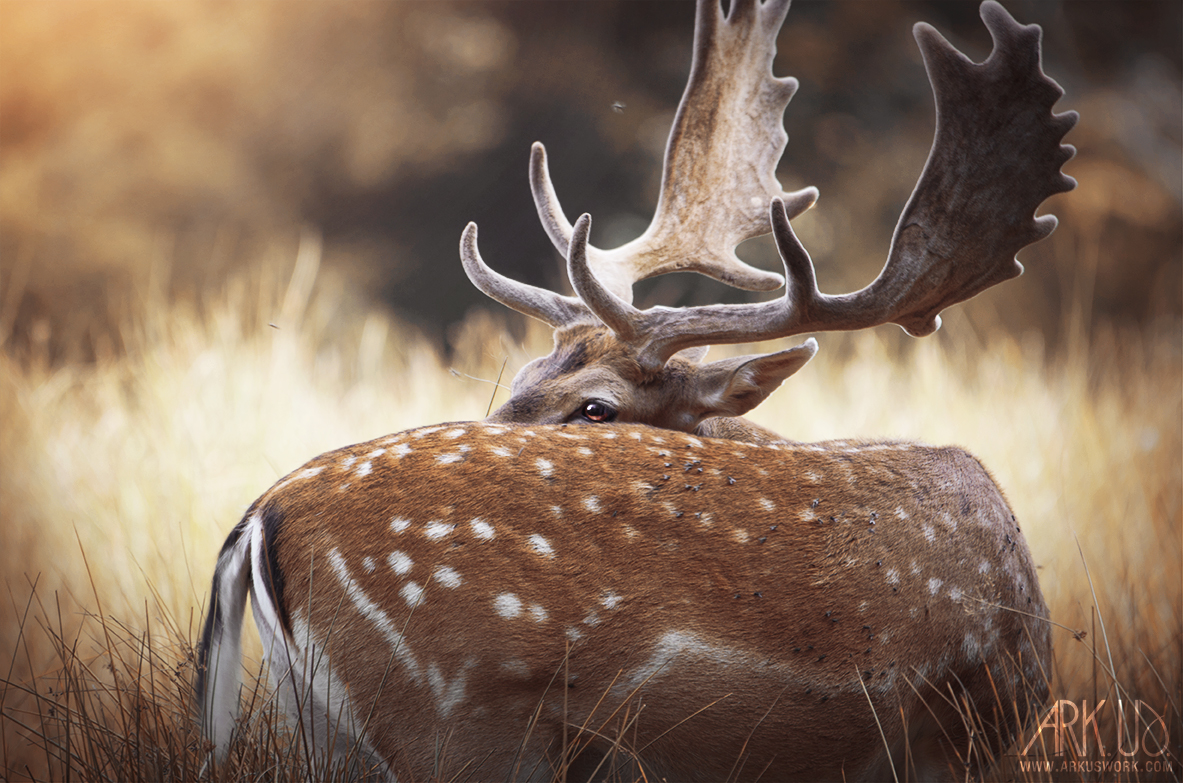photo daim nature wild portrait photographe animalier décoration cerf mammal
