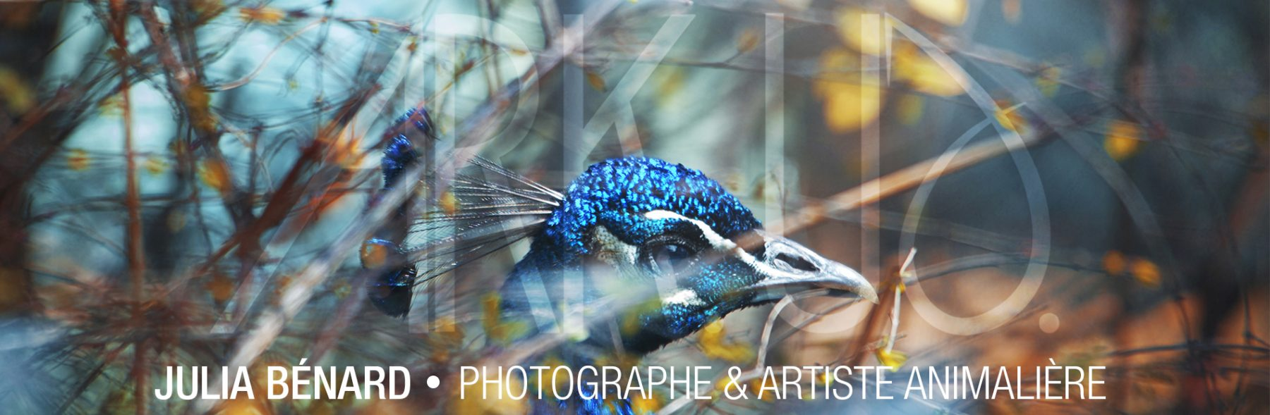 paon bleu coulours nature portrait oiseau photographe animalière animaux de compagnie var toulon paca