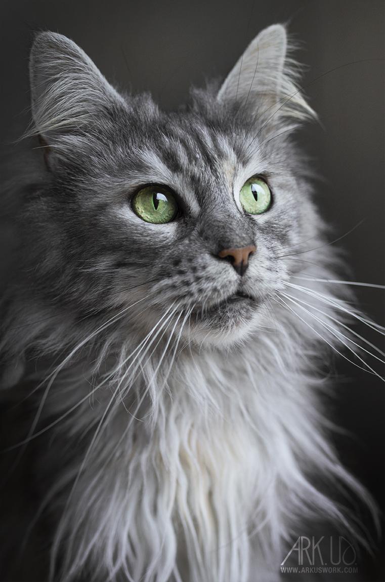 maine coon,chat,félin,photographie,photo,photographe,animalière,toulon,var,paca,animal,animal de compagnie,animaux,animaux de compagnie