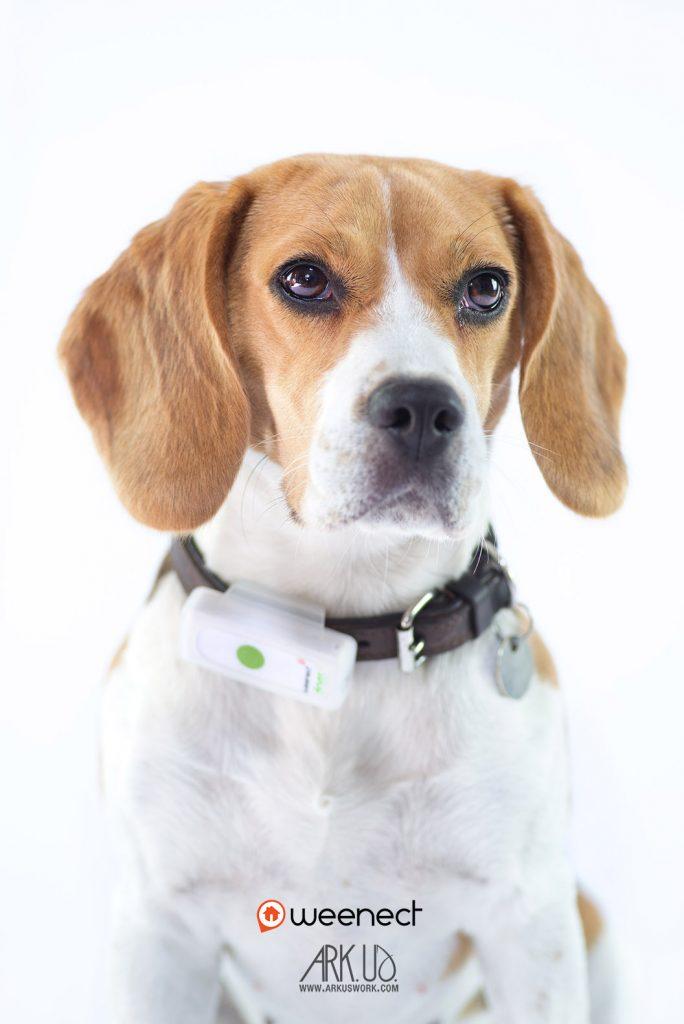 chien,beagle,photo,photographie,gps,weenect,collier,geolocalisation,animalier,animalière,photographe,france,toulon,var,paca,marseille,nice,nature, paris