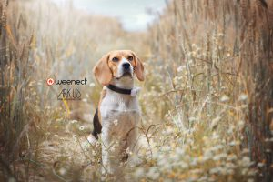 chien,beagle,photo,photographie,gps,weenect,collier,geolocalisation,animalier,animalière,photographe,france,toulon,var,paca,marseille,nice,nature